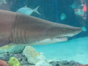 人相?の悪いサメ